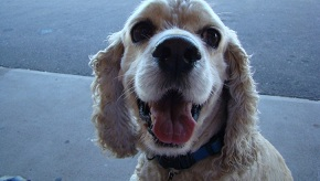 cocker-spaniel-dog_w725_h544