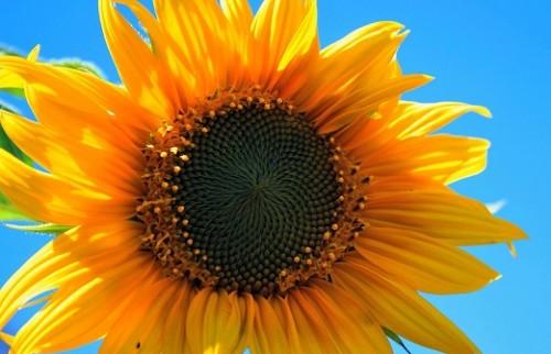 yellow-sunflower-403172_960_720